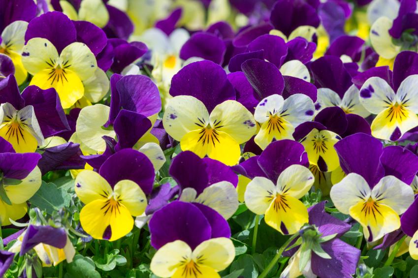 Immagini Fiori Violette.Viole Come Coltivare Il Fiore Piu Profumato Www Stile It