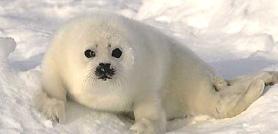 Quebec foche