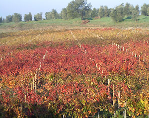 Chianti vigne