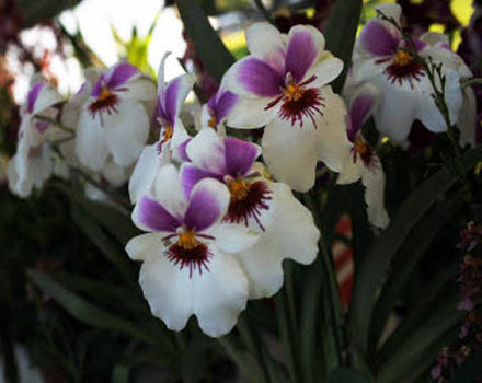 Orchidee - Orticola 2010