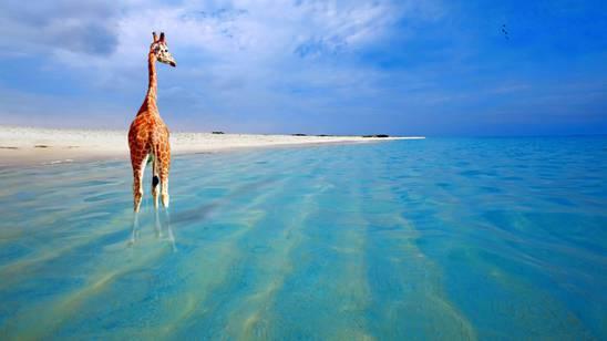 Giraffa a Boca Grandi beach