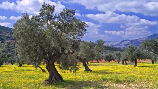 Ulivi secolari della Galilea