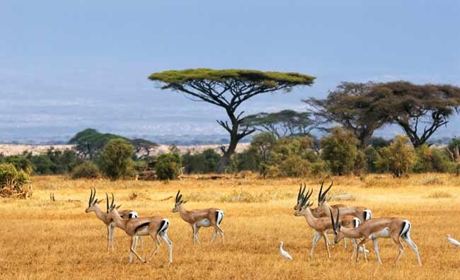 Kenya gazzelle