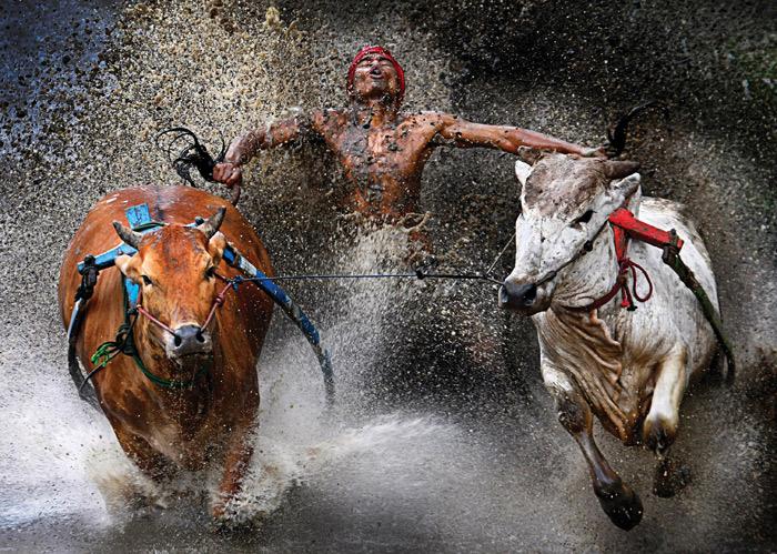 Pacu Jawi Bull Race, Indonesia