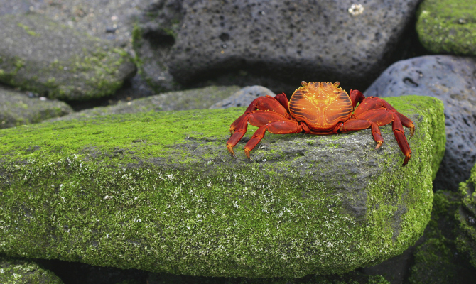 I granchi diventano re di Christmas Island