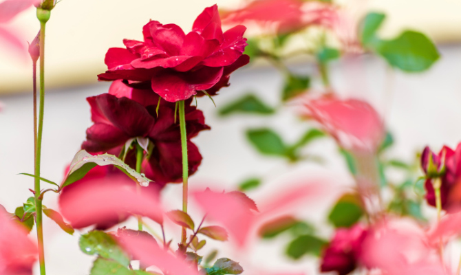 In Marocco per la festa delle rose