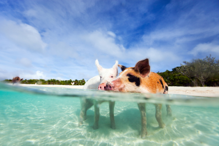 Benvenuti a Pig Beach, l'isola dei maialini felici