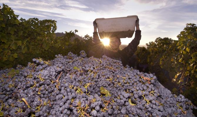 raccolta dell'uva, produzione vino
