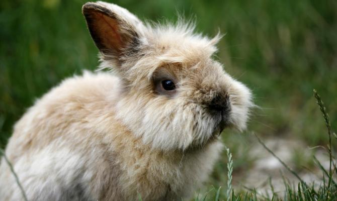 Coniglio, pelo angora