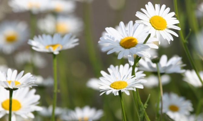 Infusi di bellezza e salute: le margherite