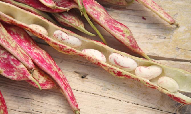 Borlotti, legumi freschi di stagione