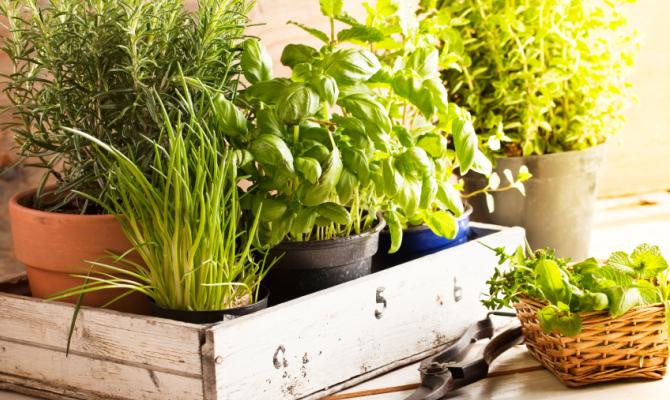 Coltivare le piante aromatiche in casa