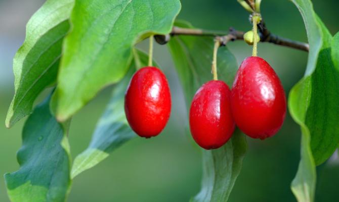 Corniole, un frutto dimenticato