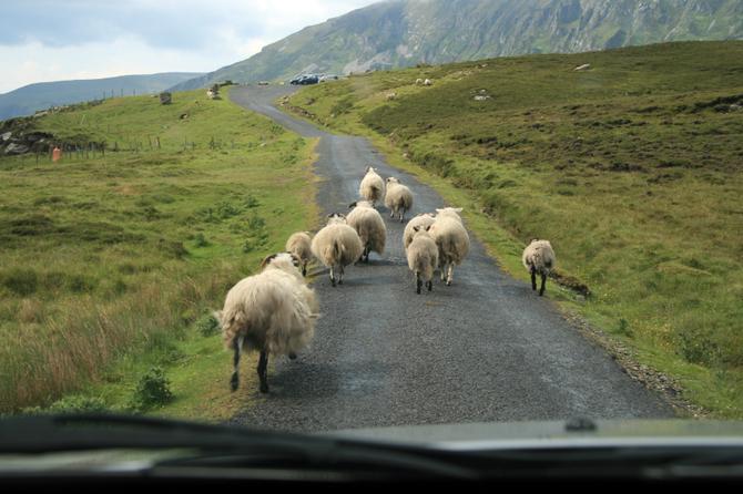 Pecore bloccano la strada
