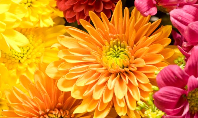 Il crisantemo, gardening d'autunno