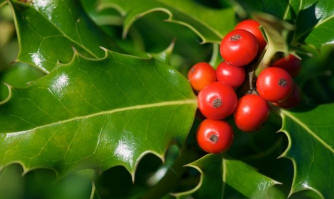 Agrifoglio, la pianta magica del Natale