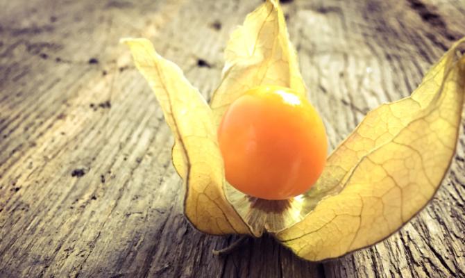 Alchechengi, un frutto natalizio
