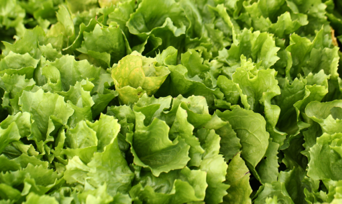 Scarola, una croccante insalata
