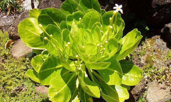 Palma delle Hawaii, il gardening esotico