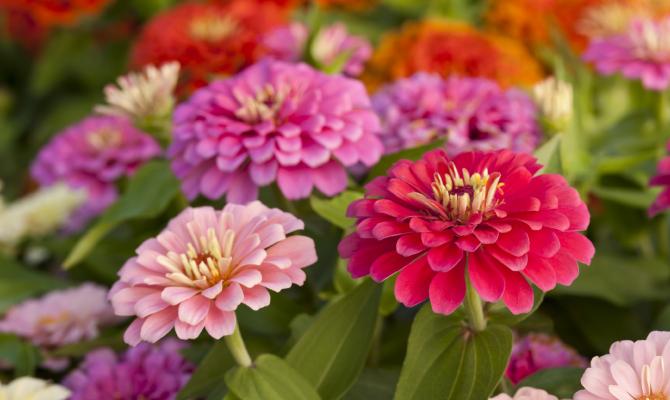 Zinnia, il fiore spaziale