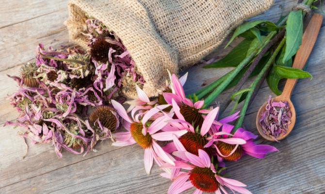 Echinacea, elisir di salute