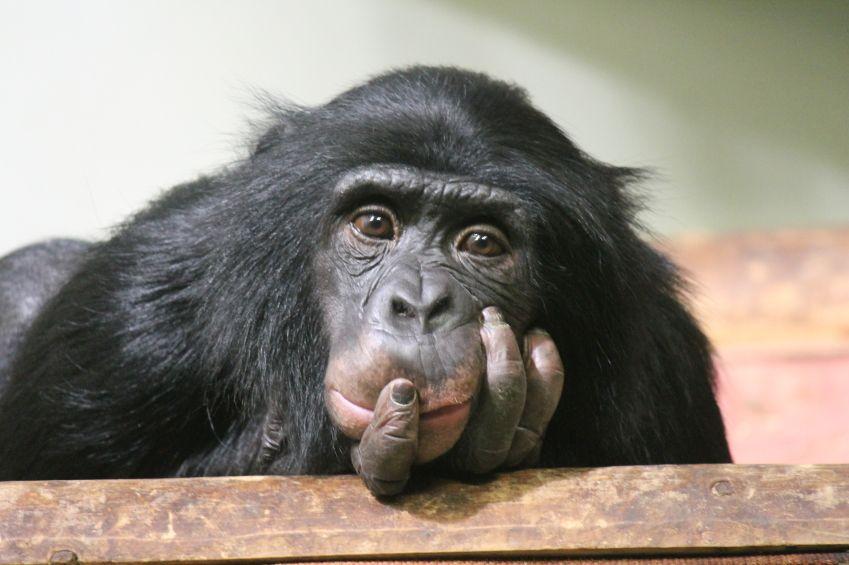 Cervello di scimmia