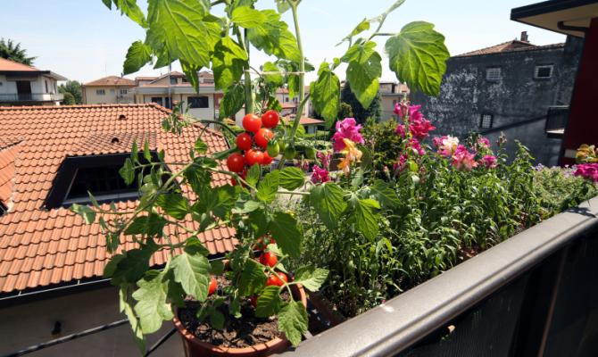 Pomodori sul balcone