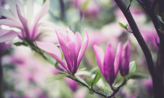 La magia della magnolia in fiore for Arbusto dai fiori rosa e bianchi