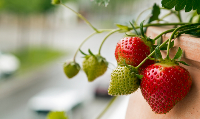 Come coltivare le fragole in balcone