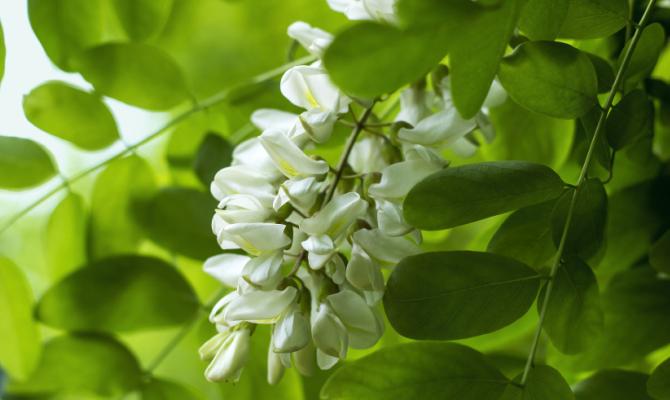 Fiori edibili la robinia for Fiori bianchi profumati a grappolo