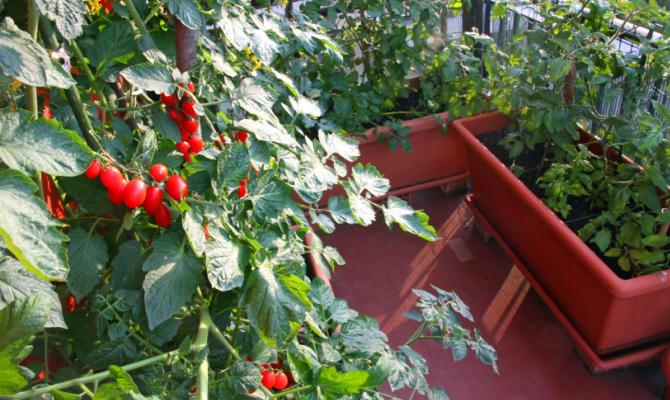 pianta di pomodori coltivata in balcone