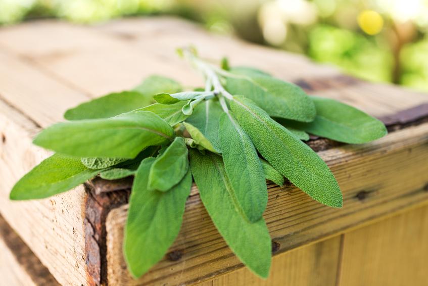 Salvia, le virtù di una pianta aromatica