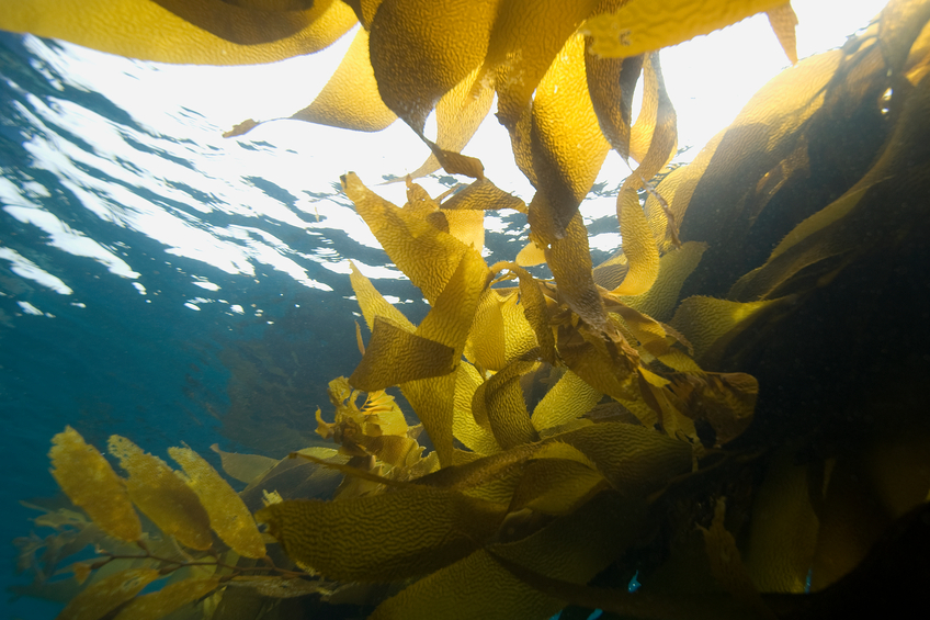 Alghe marine