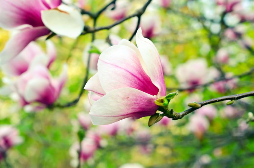 Cosmesi naturale: i benefici della magnolia