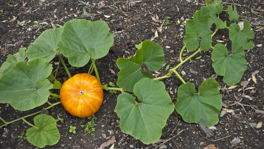 Piante Di Zucca : Zucca ecco come coltivarla in casa stile