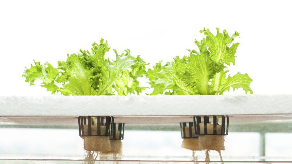 Coltura idroponica il giardino in casa - Coltivazione idroponica in casa ...