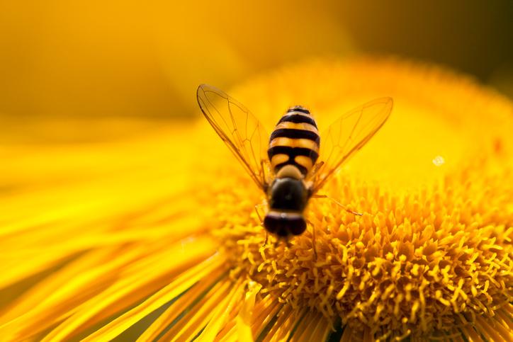 Polline d'api: granelli ricchi di benessere