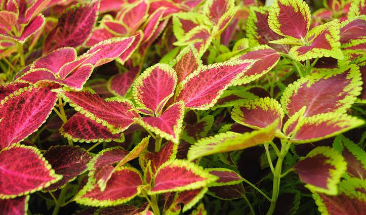 Forskolina, il brucia grassi che viene dalle piante