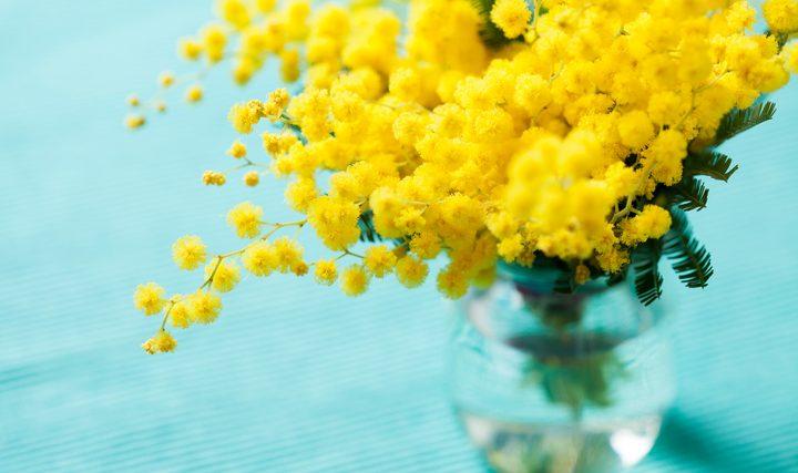 Conservare la mimosa qualche consiglio for Mimosa in vaso