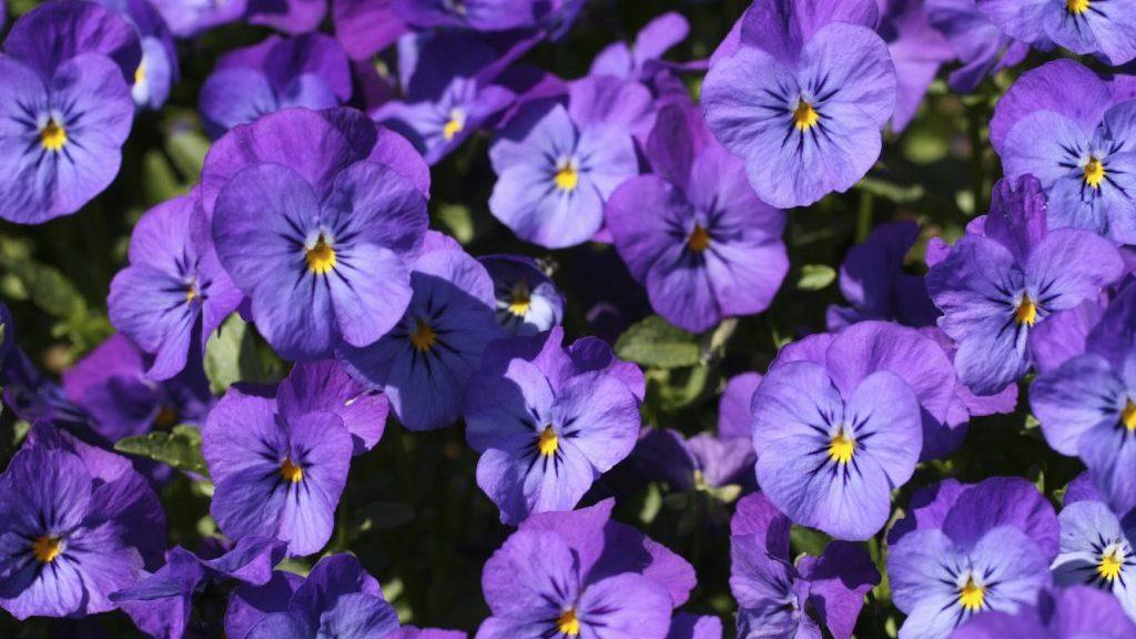 viole mammole