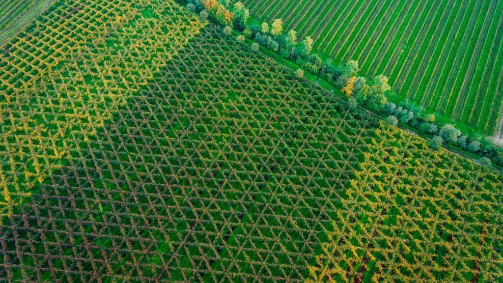Bellussera: coltivare la vite a 3 metri da terra