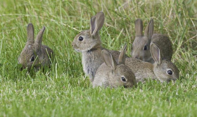 Gruppo di conigli a Okunoshima