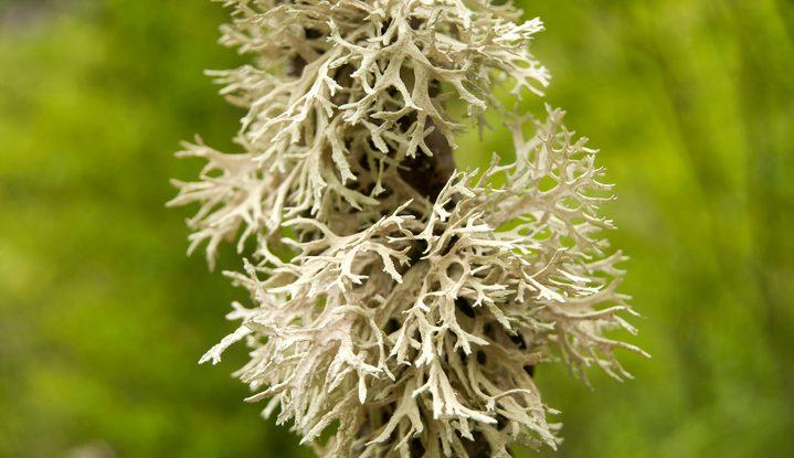 Lichene islandico, un toccasana per la gola