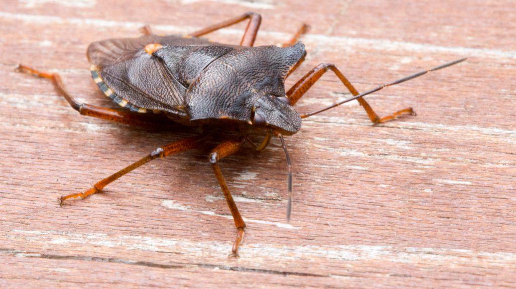 cimici: insetti da debellare in casa