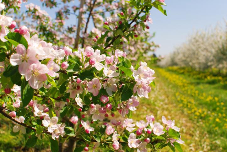 Aprile in Val di non per la fioritura dei meleti