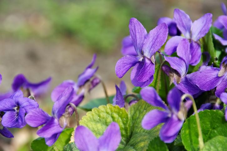 Viola mammola, un fiore che fa bene alla salute