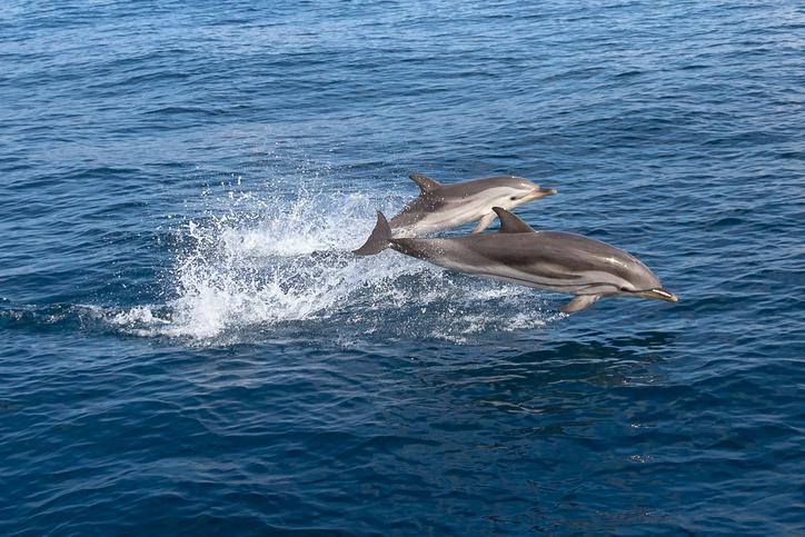 Delfini nel Mar Ligure