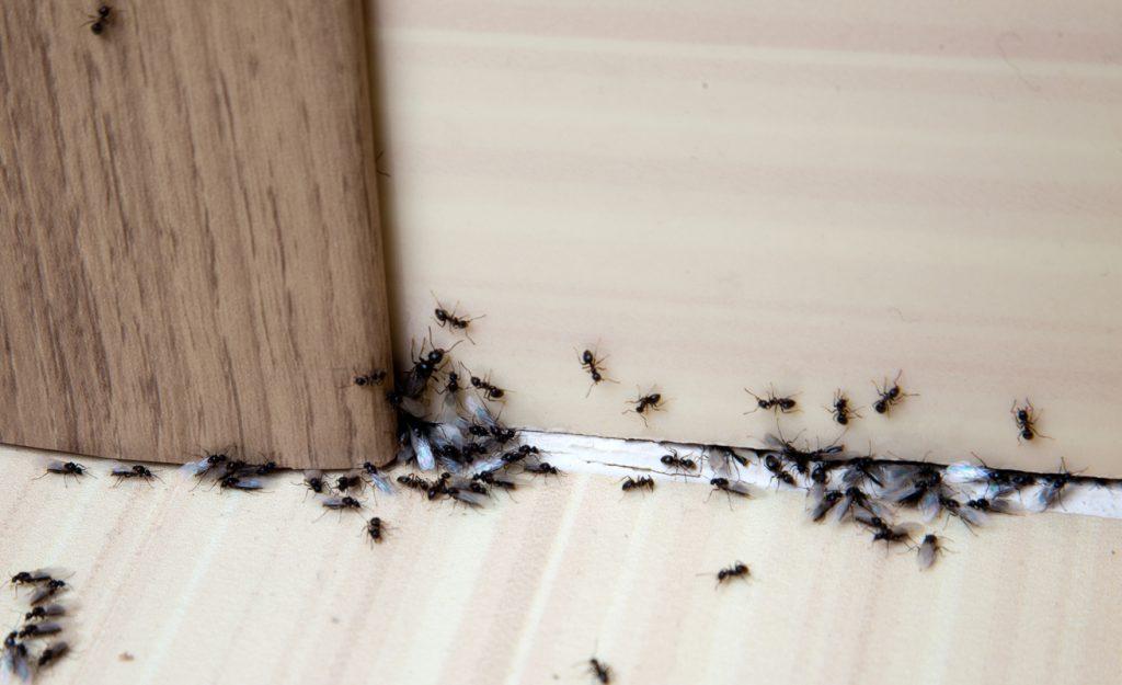 Eliminare Le Formiche In Casa E Possibile Se Sai Come Farlo