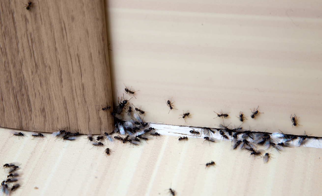 Eliminare le formiche in casa possibile se sai come farlo - Come eliminare le onde elettromagnetiche in casa ...