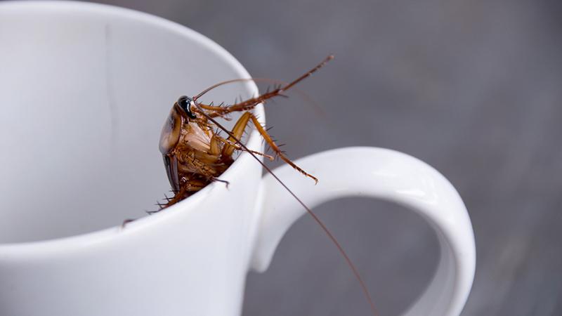 Latte di scarafaggio, il superfood di domani